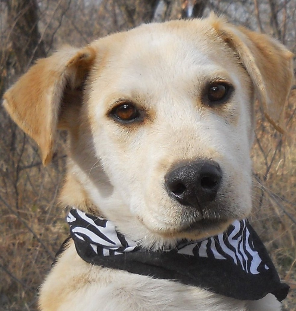 Caleb the Great Pyrenees, Siberian Husky, Lab Mix ~ DogPerDay ... for Cute Lab Dog Puppy  585eri