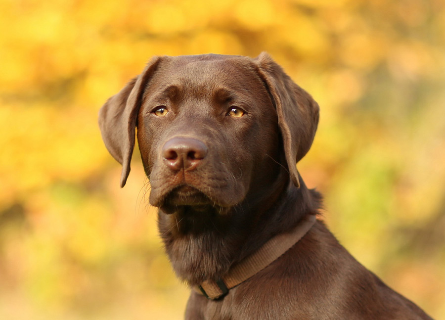 Beautiful Chocolate Labrador Retriever Dogperday Cute Puppy