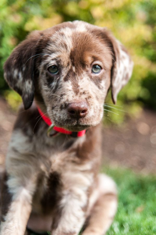 Lab And German Shorthair Pointer Mix Dogperday Cute Puppy