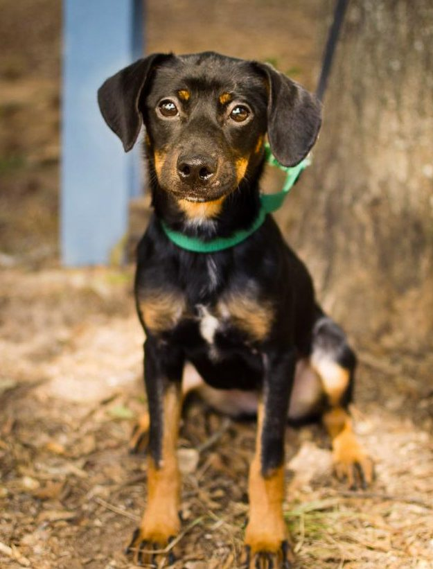 Frances the Dachshund Mix