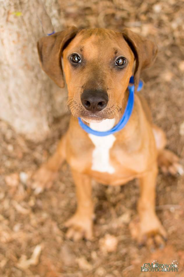 Mabel the Redbone Coonhound Mix