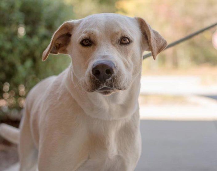 Boone the Yellow Labrador Retriever