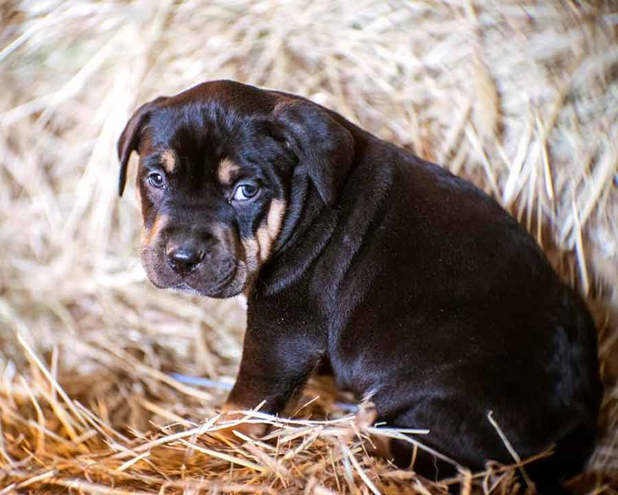 Fennel The Pit Bull Rottweiler Mix Puppy
