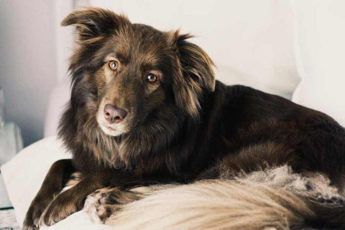 Sadie the Australian Shepherd Mix