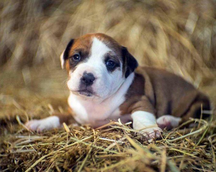 Tarragon the Pit Bull, Rottweiler Mix Puppy