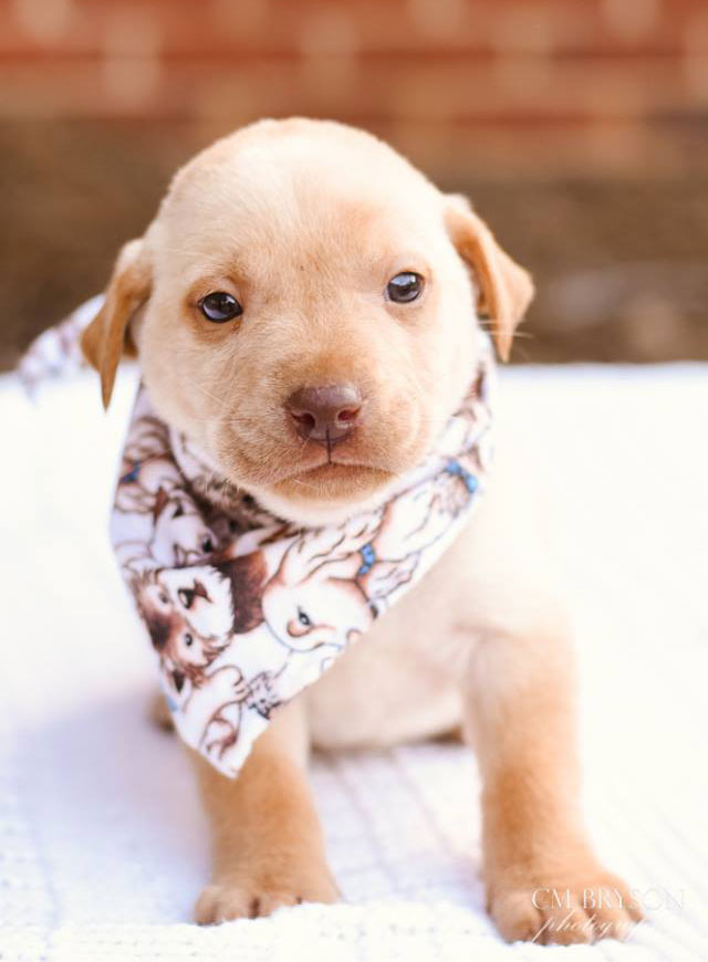 Almond The Labrador Retriever