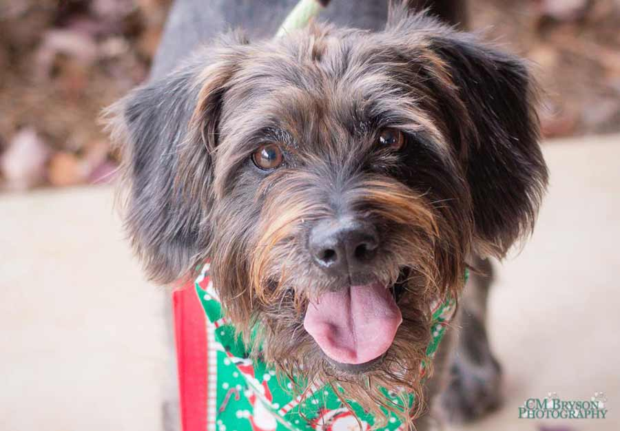 Franco the German Wire-Haired Pointer Mix