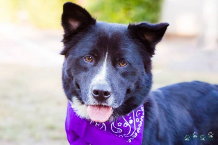 Ginny the Border Collie Mix