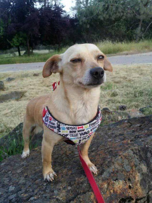 Joey the Chihuahua Mix