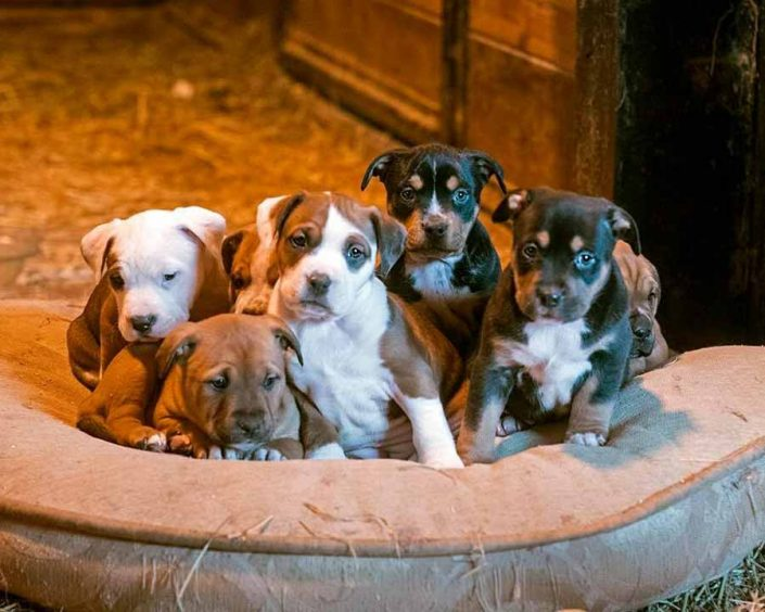 Pile of American Staffordshire, Rottweiler Mix Puppies