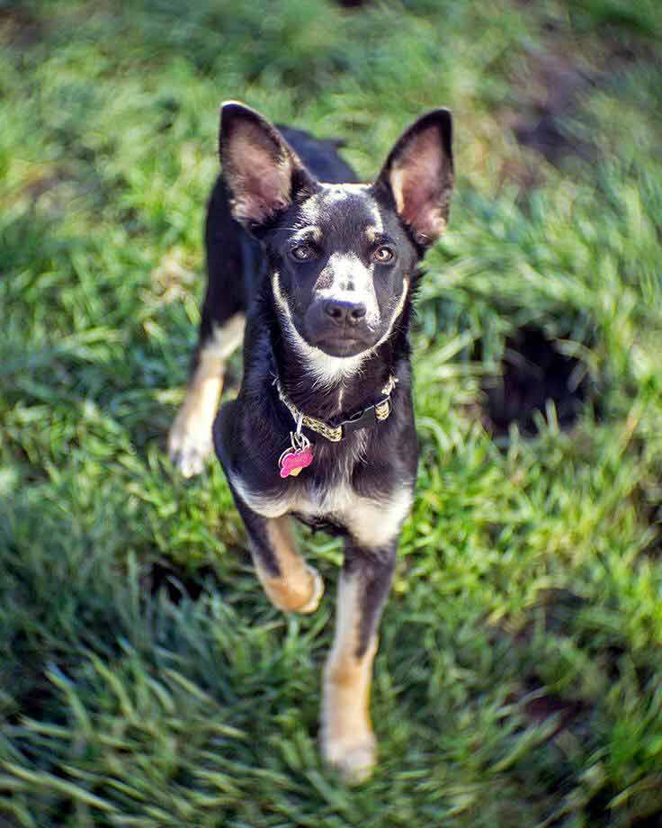 Willow the German Shepherd Mix