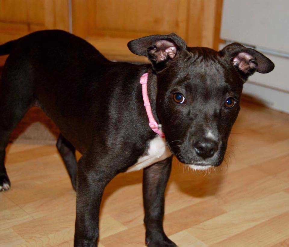 Ali the American Staffordshire Terrier Mix