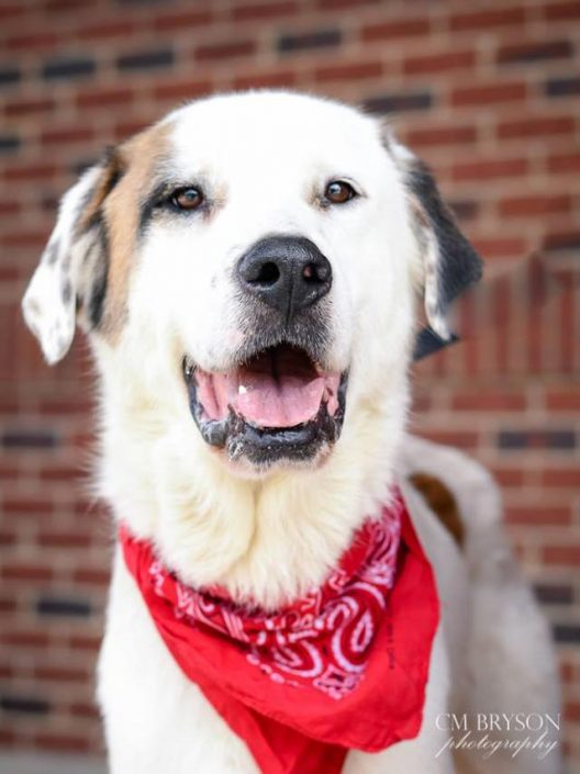 Gandalf the Great Pyrenees Mix