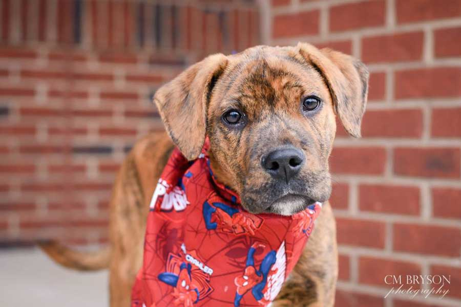 Trax the Treeing Tennessee Brindle Hound Mix