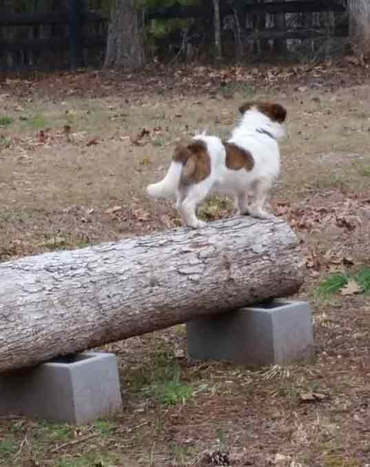 Razzles the Terrier Mix