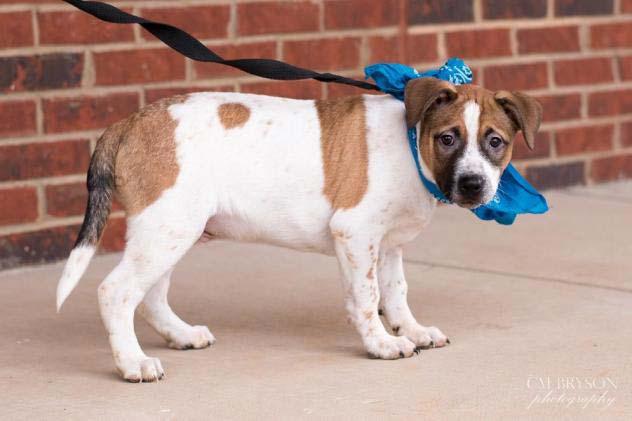 adoptable australian cattle dog