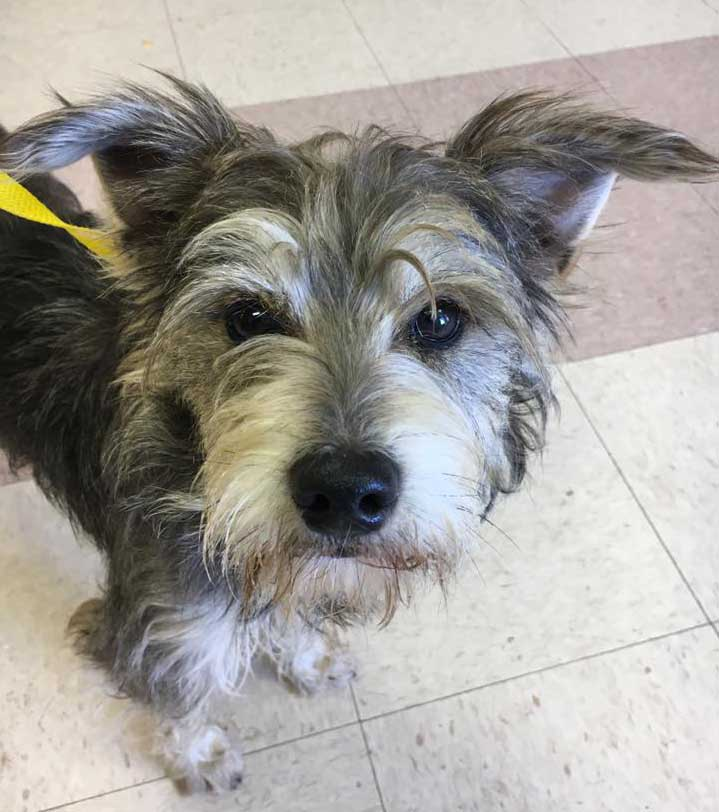 Doyle the Schnauzer Mix