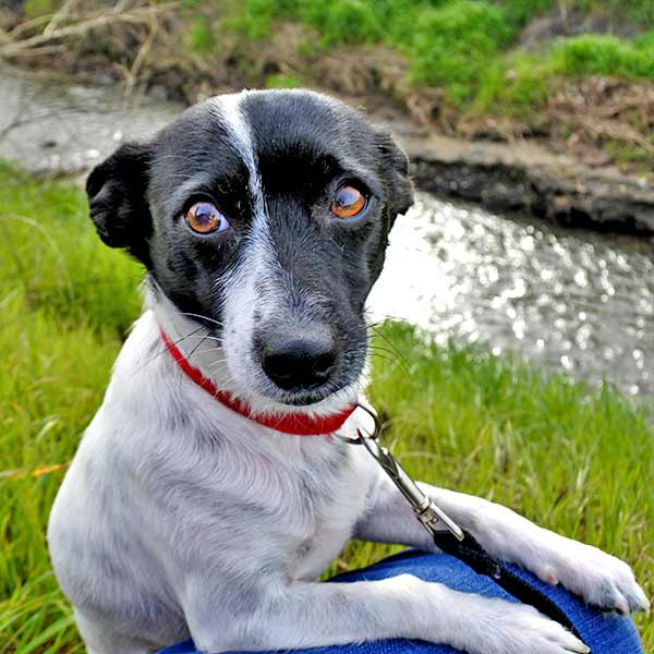 Susie-Lou the Jack Russell Terrier Mix