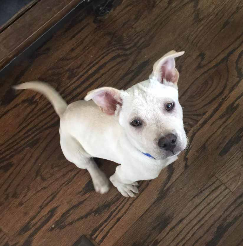 Adoptable Lab Cattle Dog Mix
