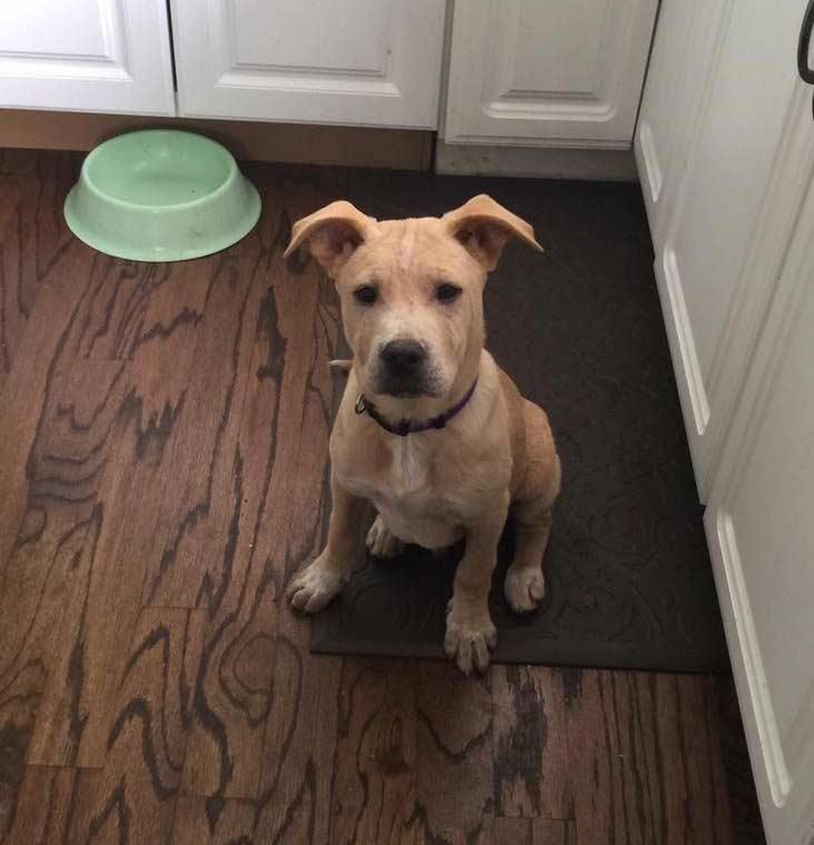 Adopt a Labrador Cattle Dog Mix
