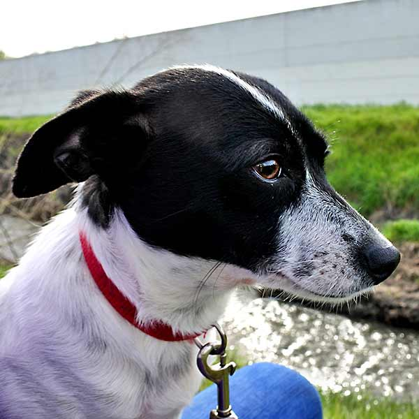 Jack Russell Terrier Humane Society Silicon Valley