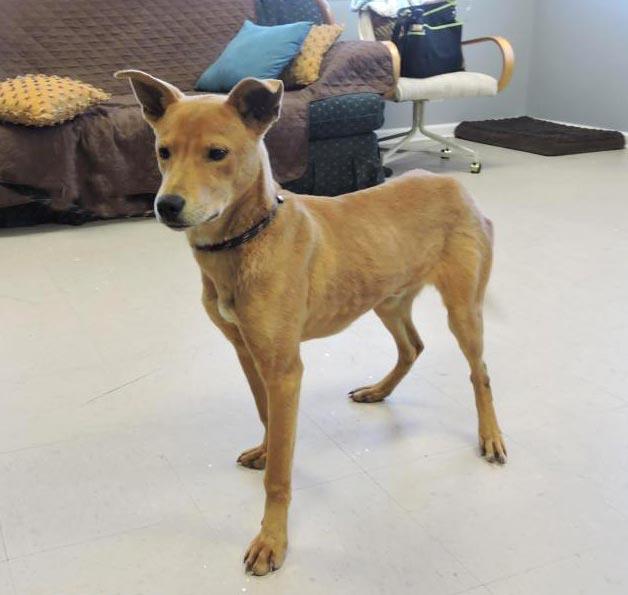 Dingo the Cattle Dog, Labrador Retriever Mix