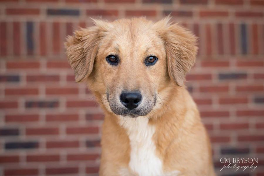 Breandan the Golden Retriever Mix