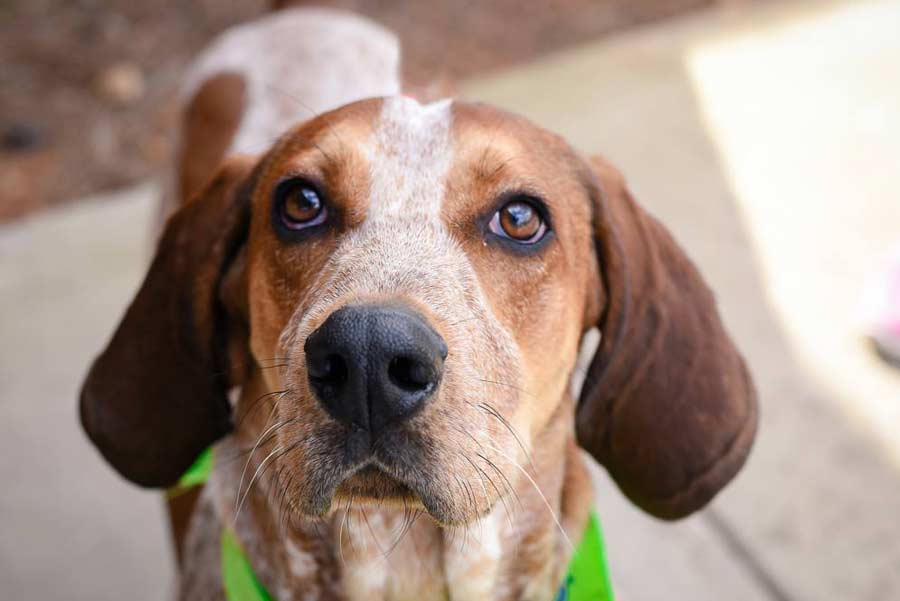 Hennessy the Coonhound Mix