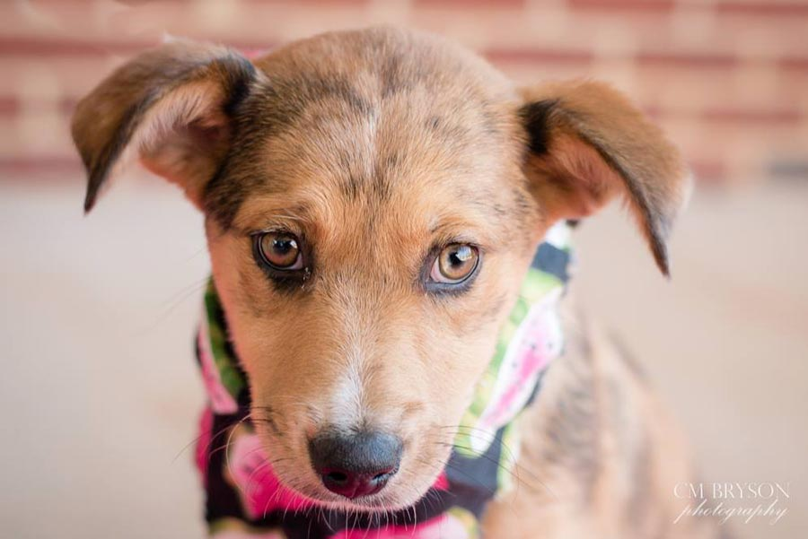 Sydney the Australian Shepherd Mix