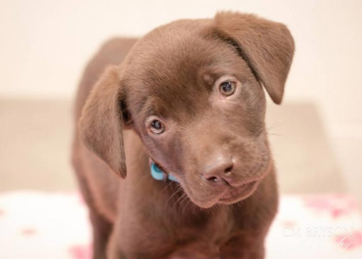 Teagan the Labrador Retriever