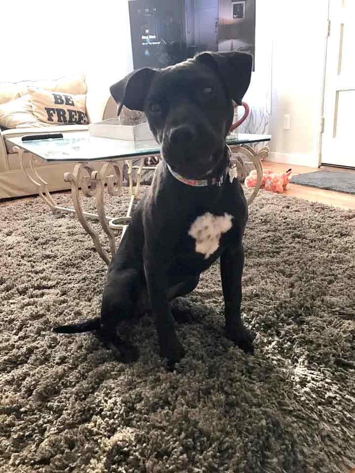 Emmy the Labrador Retriever, Boxer Mix