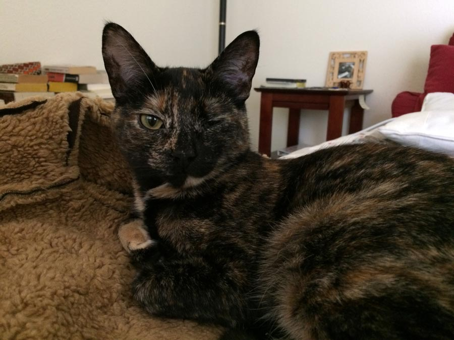Chloe the Tortoiseshell Cat