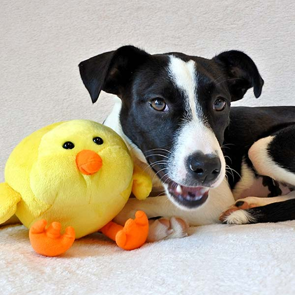 Chrissy the Border Collie Mix