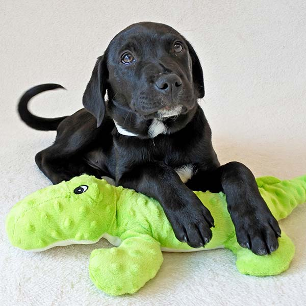 Theo the Labrador Retriever Mix