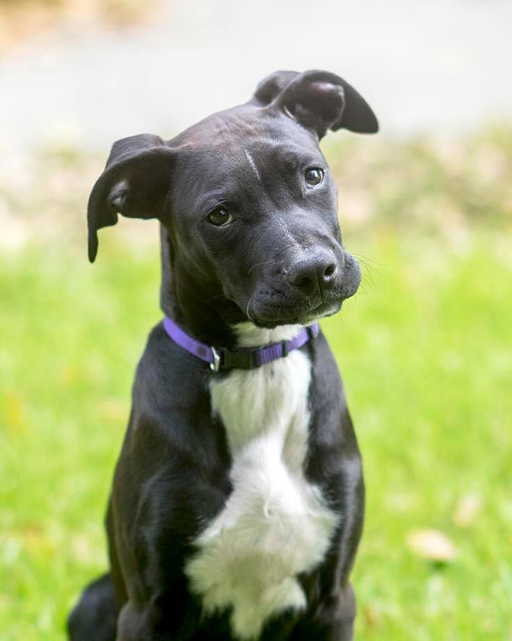 Tux the Great Dane, Labrador Mix