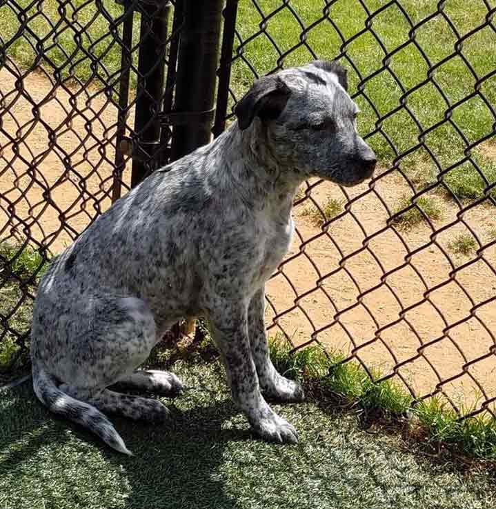 Flicka the Blue Heeler Mix