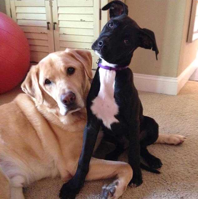 Tux The Great Dane Labrador Mix