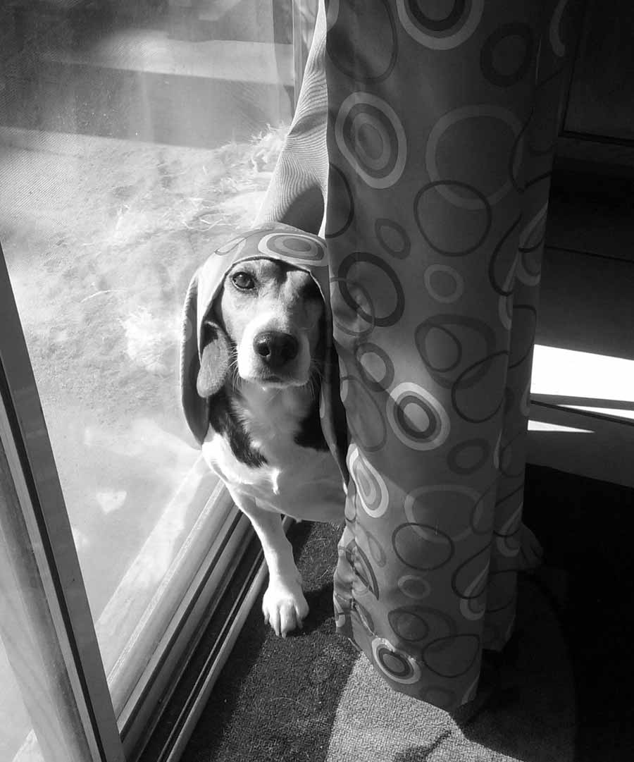 Aaddi the Beagle