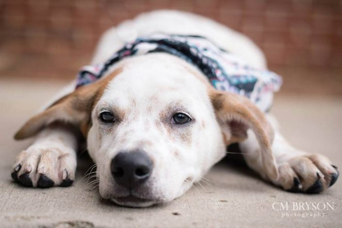 Dill the Australian Cattle Dog Mix