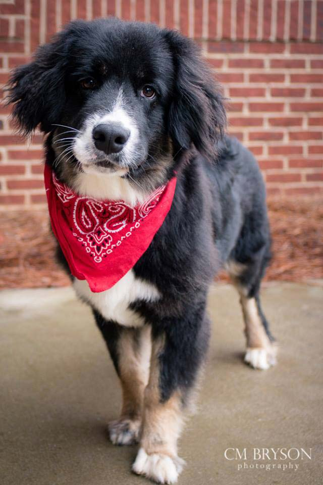 Lemony Snicket the Bernese Mountain Dog Mix