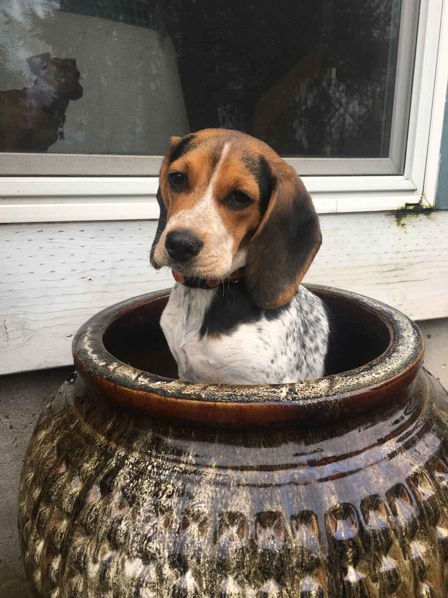 Maggie the Beagle