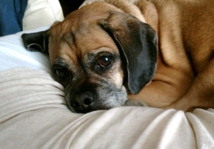 Molly the Puggle
