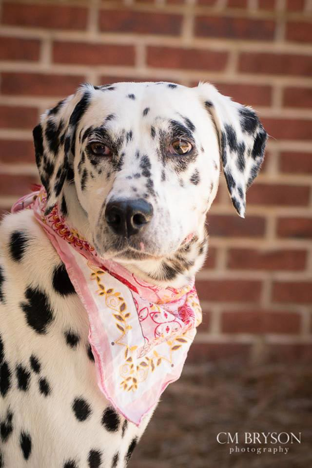 Polka Dot the Dalmatian