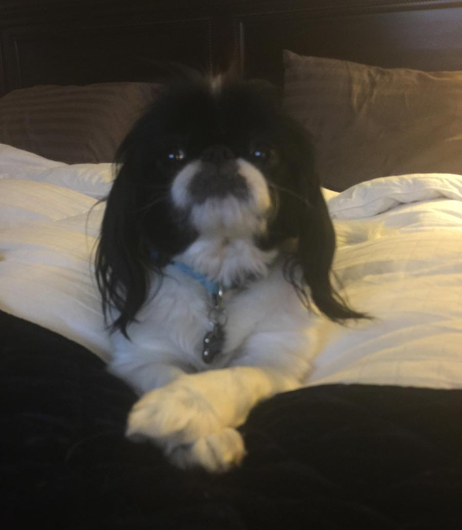 Henry the Japanese Chin