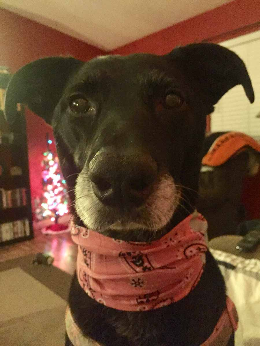 Sadie the Labrador Mix