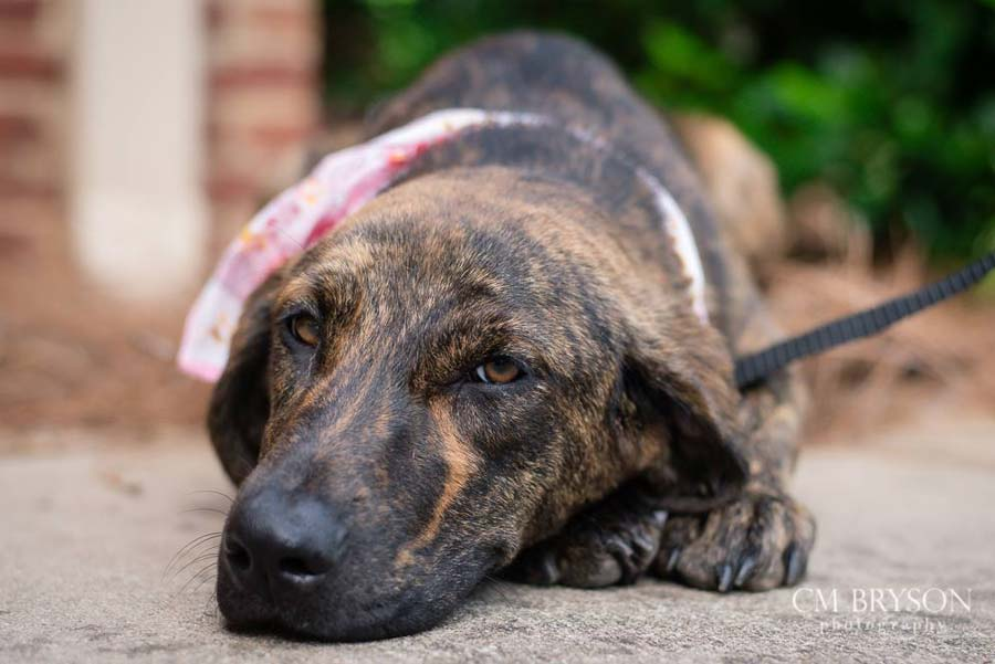 Lady Bird the Plott Hound Mix