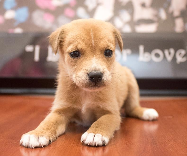 Meeko the Labrador Retriever Mix