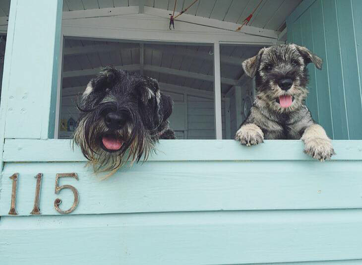 Nelly and Nora the British Standard Schnauzers