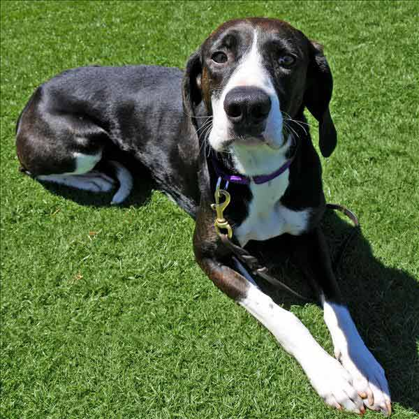 Pam the Pointer, Coonhound Mix