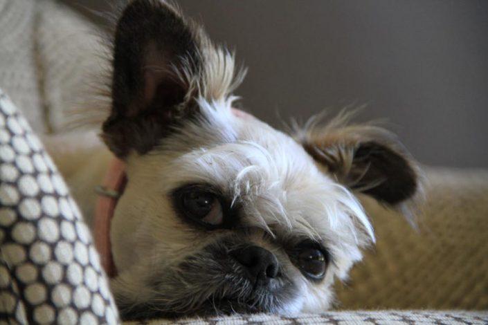 Shelby the Lhasa Apso, Bulldog, Shih Tzu Mix